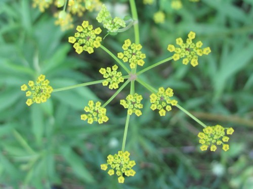 The flower of the wild parsnip is pretty, but don't pick it.