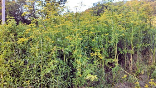 Wild parsnip grows thickly in ditches and can take over fields