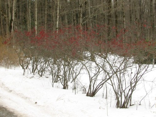 Winterberry hedge