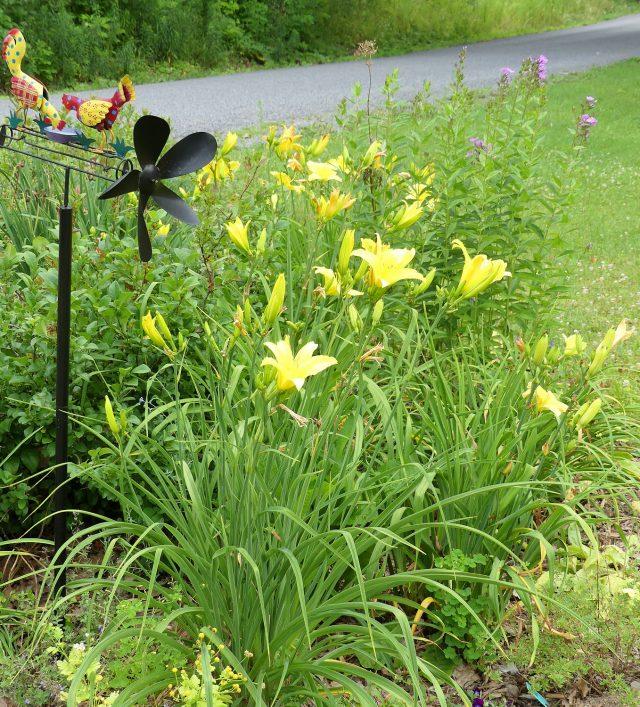 yellow daylily border