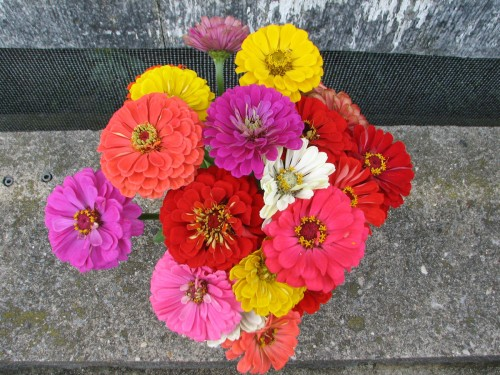 These zinnias were cut for a early fall bouquet.