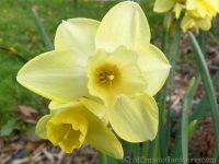 Binkie daffodil