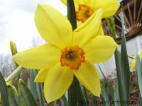 Conspicuus daffodil