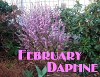 February daphne aka Daphne mezereum