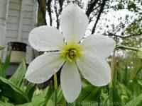 Keats daffodil
