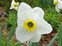 Lancaster daffodil