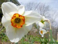 Merlin daffodil