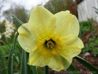 Mint Julep daffodil