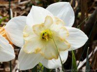 Unidentified butterfly daffodil