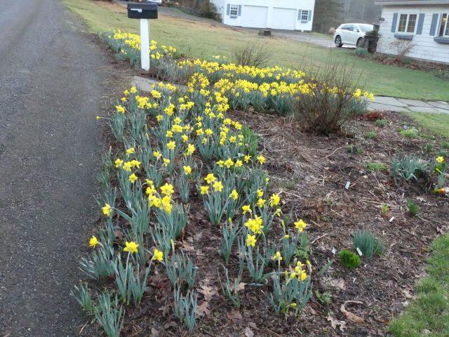 daffodils along the road