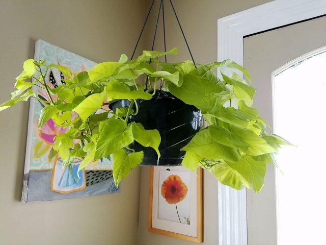 golden sweet potato in hanging basket