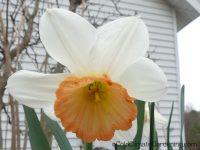 pink cup daffodil