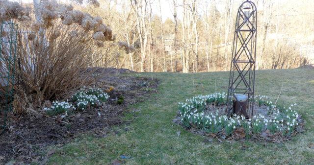 snowdrops galanthus S Arnott in the front yard garden
