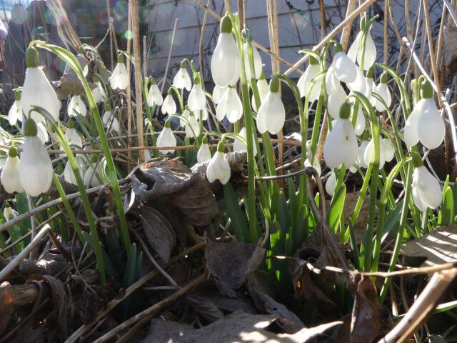 snowdrops S Arnott galanthus